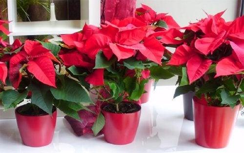 la-flor-pascua-provoca-alergias-navideñas-en-algunas-personas