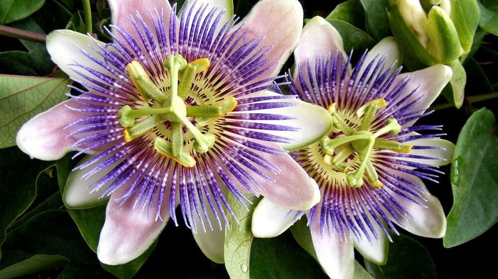 flor-pasion