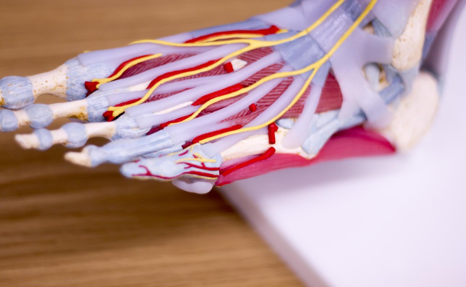 Tendones, venas y ligamentos del pie.