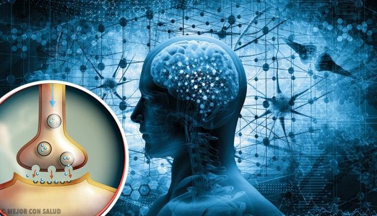 Encefalina: síntesis y funciones