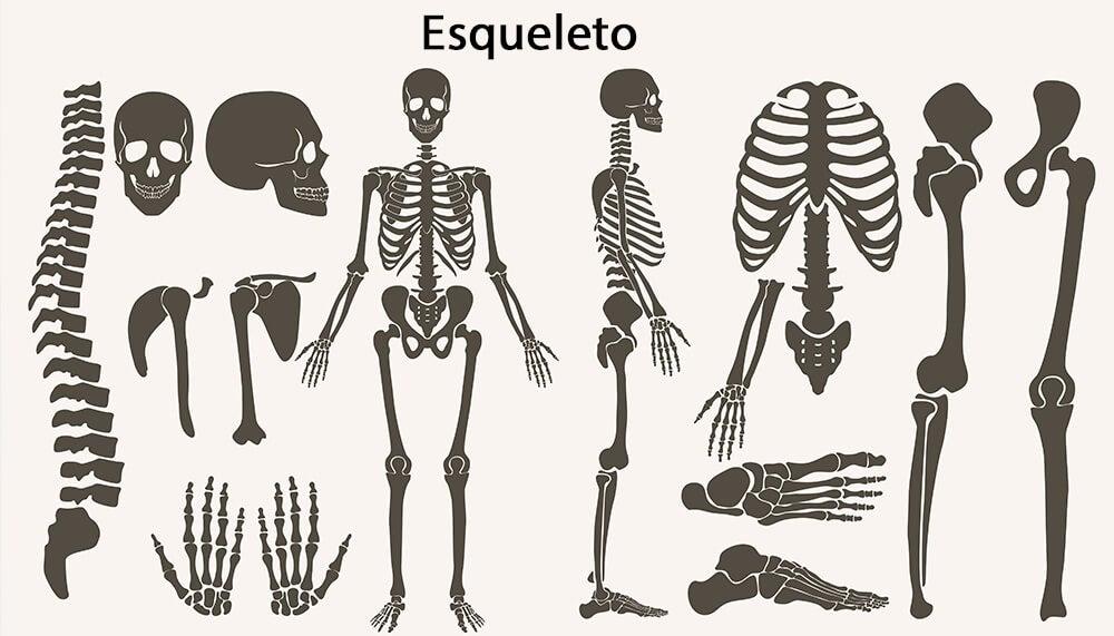 Formación y desarrollo del esqueleto