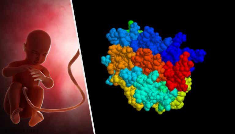 Hormona antimülleriana (HAM): qué es y cómo actúa