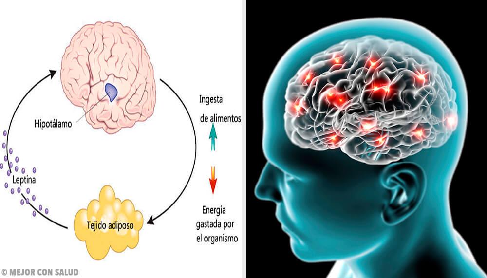 Neuropéptido Y: síntesis, localización y funciones