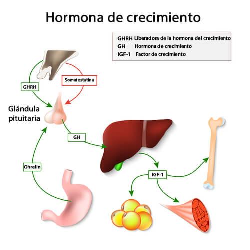 Otras funciones de la hormona del crecimiento