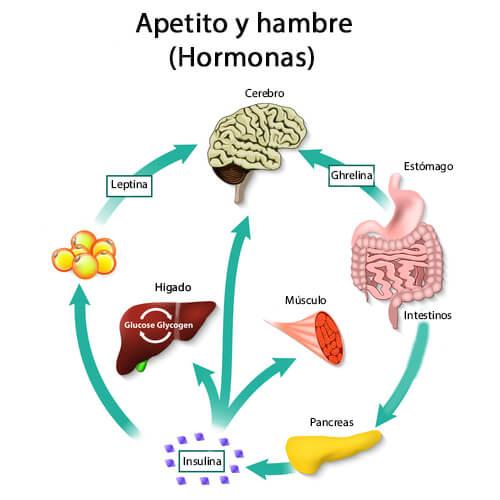 Papel del neuropéptido Y en el apetito