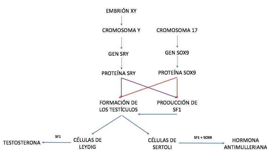 Hormona antimulleriana (HAM)