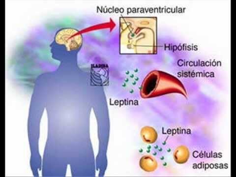 Sustancias que participan junto al neuropéptido Y