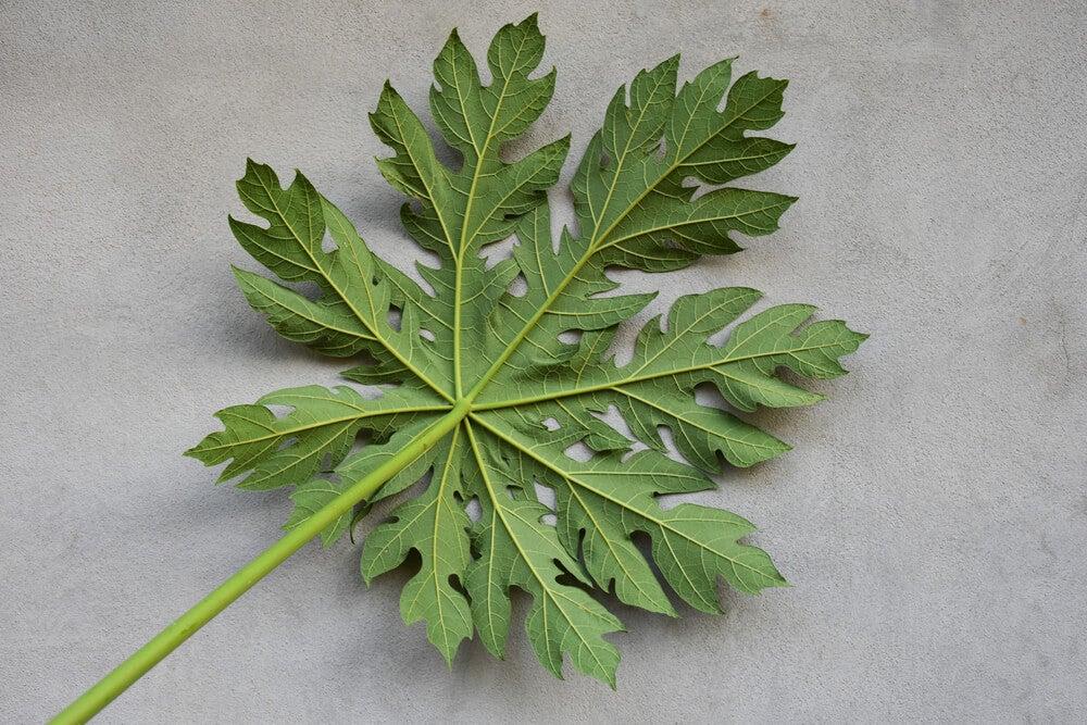 Hoja de Carica papaya