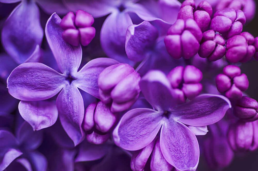 Flores color violeta.