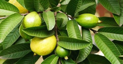 Hojas y frutos de guayaba