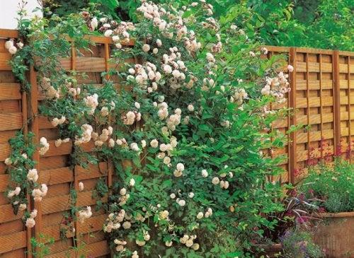 intro-rosier-cloison-fleur-l750-h512