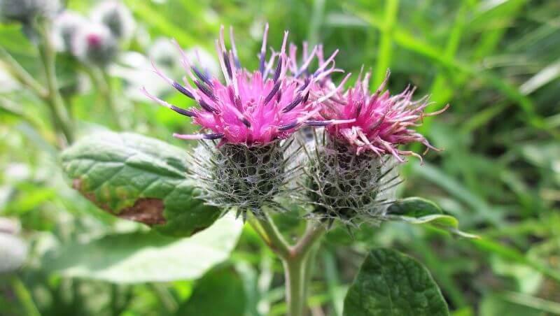 Beneficios de la bardana: una planta con muchos usos medicinales
