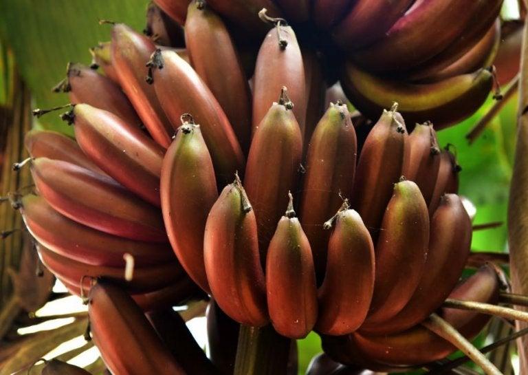 3 recetas deliciosas con plátano rojo