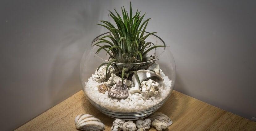 Pecera de cristal con conchas, piedras y una planta para humidificar el ambiente.