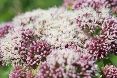 Valeriana en flor