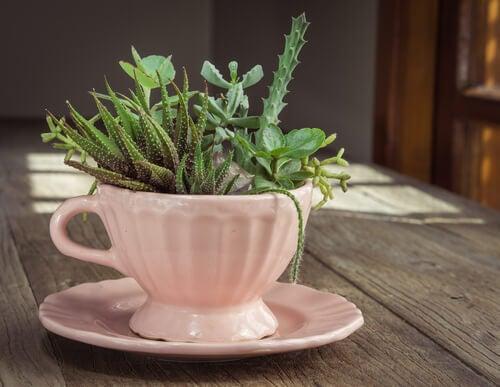 Cactus en una taza de té.