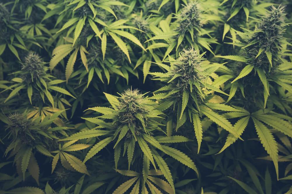 """¿Qué es y cómo romper el nudo cannabis-tabaco"""""""