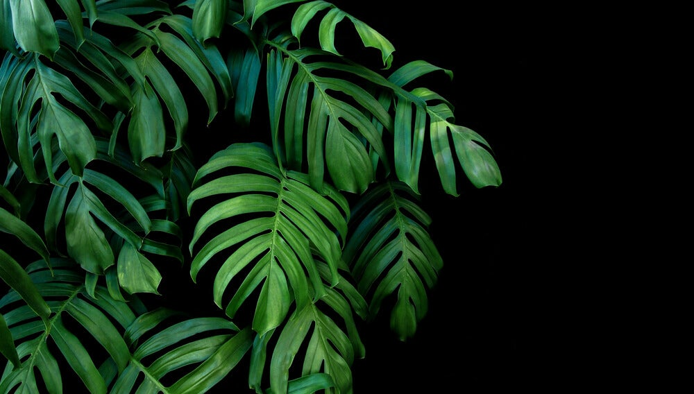 Plantas tropicales para el hogar.