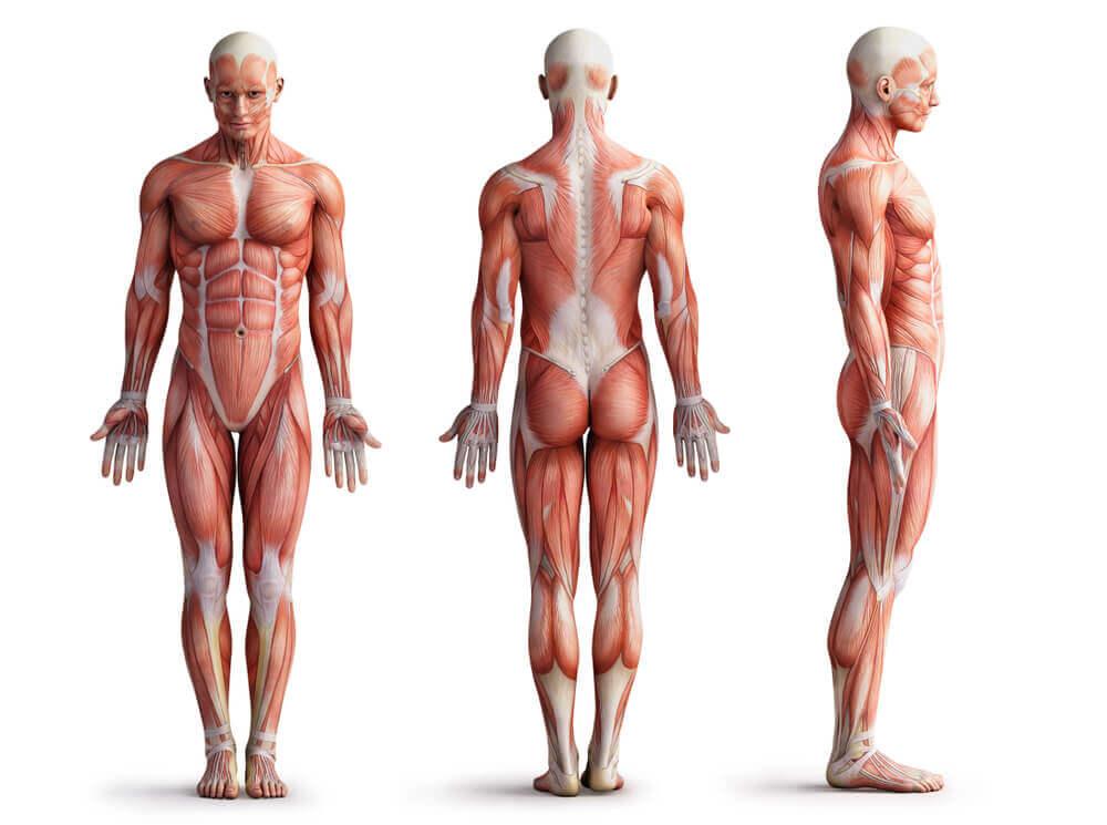 Aparato muscular humano.
