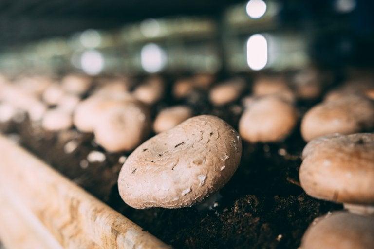 Aprende a cultivar champiñones en casa