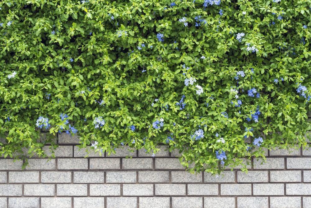 Cómo cultivar una enredadera sin dañar tu jardín