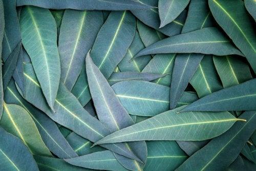 Puñado de hojas de eucalipto