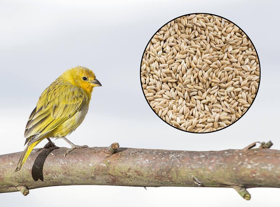 El alpiste es la comida de los pájaros.