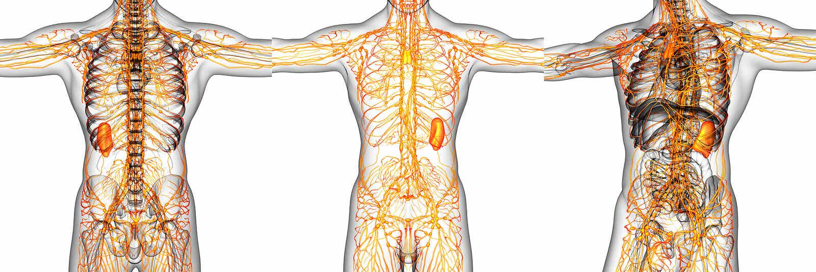 El sistema linfático.