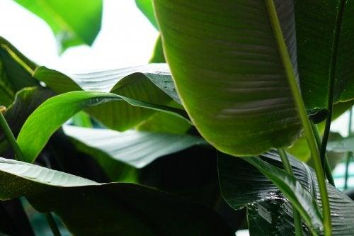 Descubre aquí los increíbles beneficios de las hojas de plátano