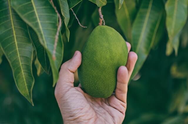 Mano tomando un mango de la planta.
