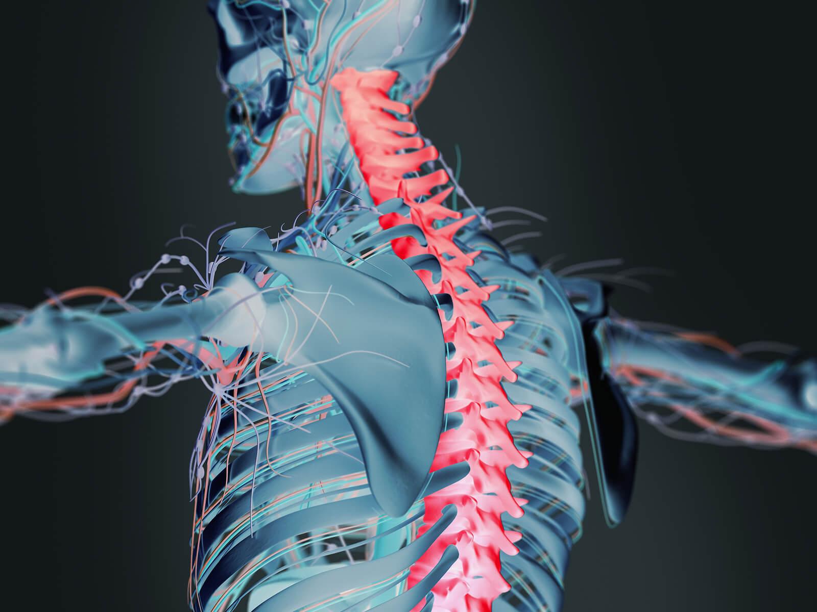 Médula espinal y su anatomía.