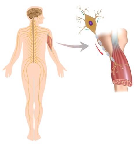 Anatomía neuromuscular