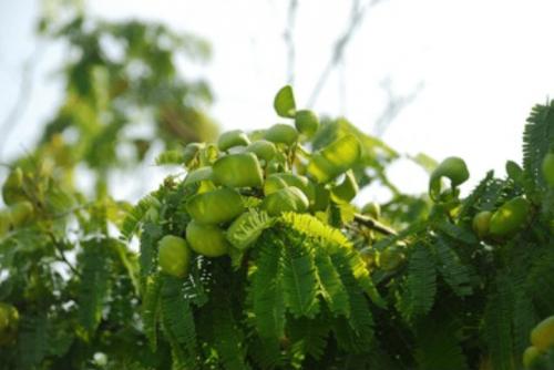 Frutos de guatapaná