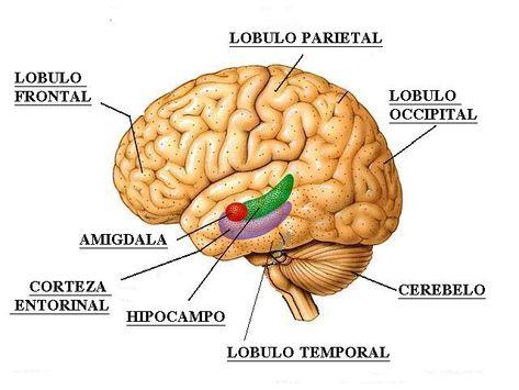 La depresión y el cerebro