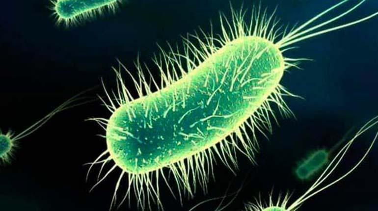 La bacteria Escherichia coli, causante principal de las cistitis