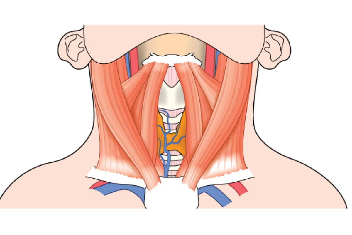 El cuello, ¿qué huesos y cartílagos lo forman?