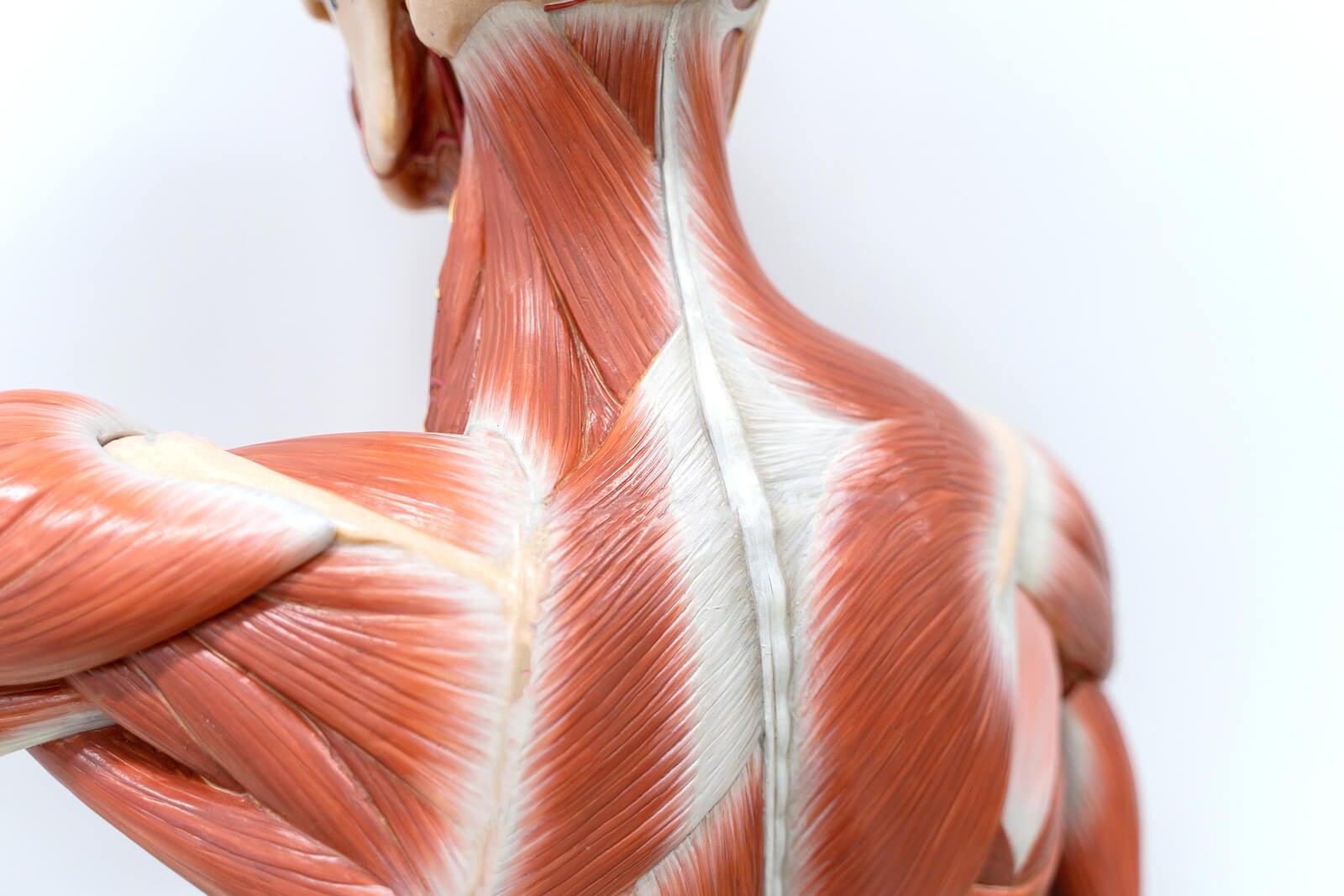 Fascias de los músculos.