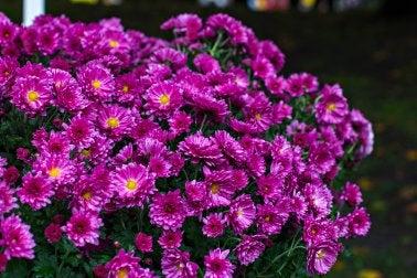 Margarita Chrysanthemum furtescens