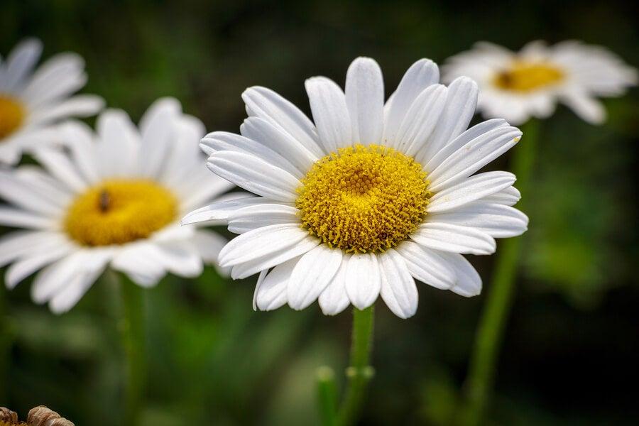 Margarita es una flor blanca para decorar el jardín.