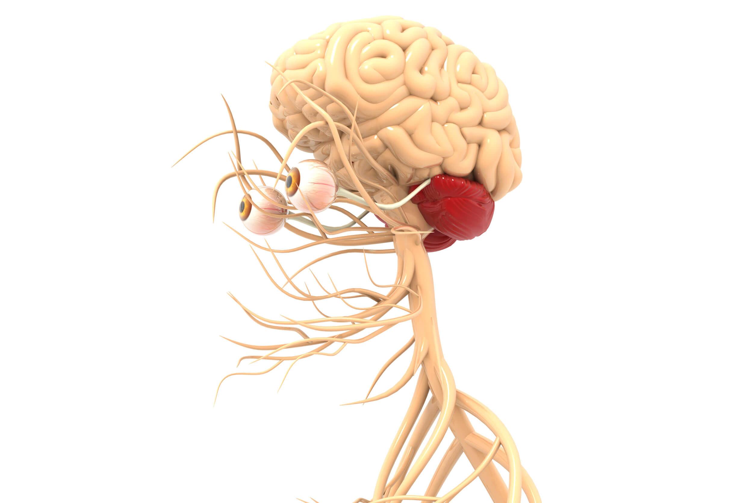 Los efectos del alcohol afectan el cerebelo.