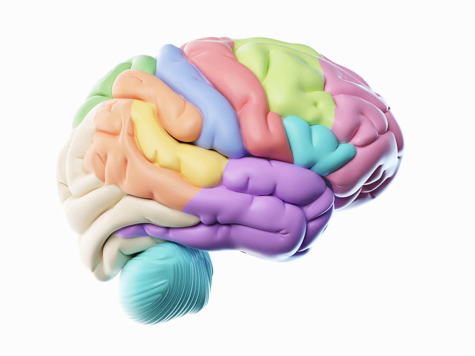 Lóbulos cerebrales, ¿cuáles son?