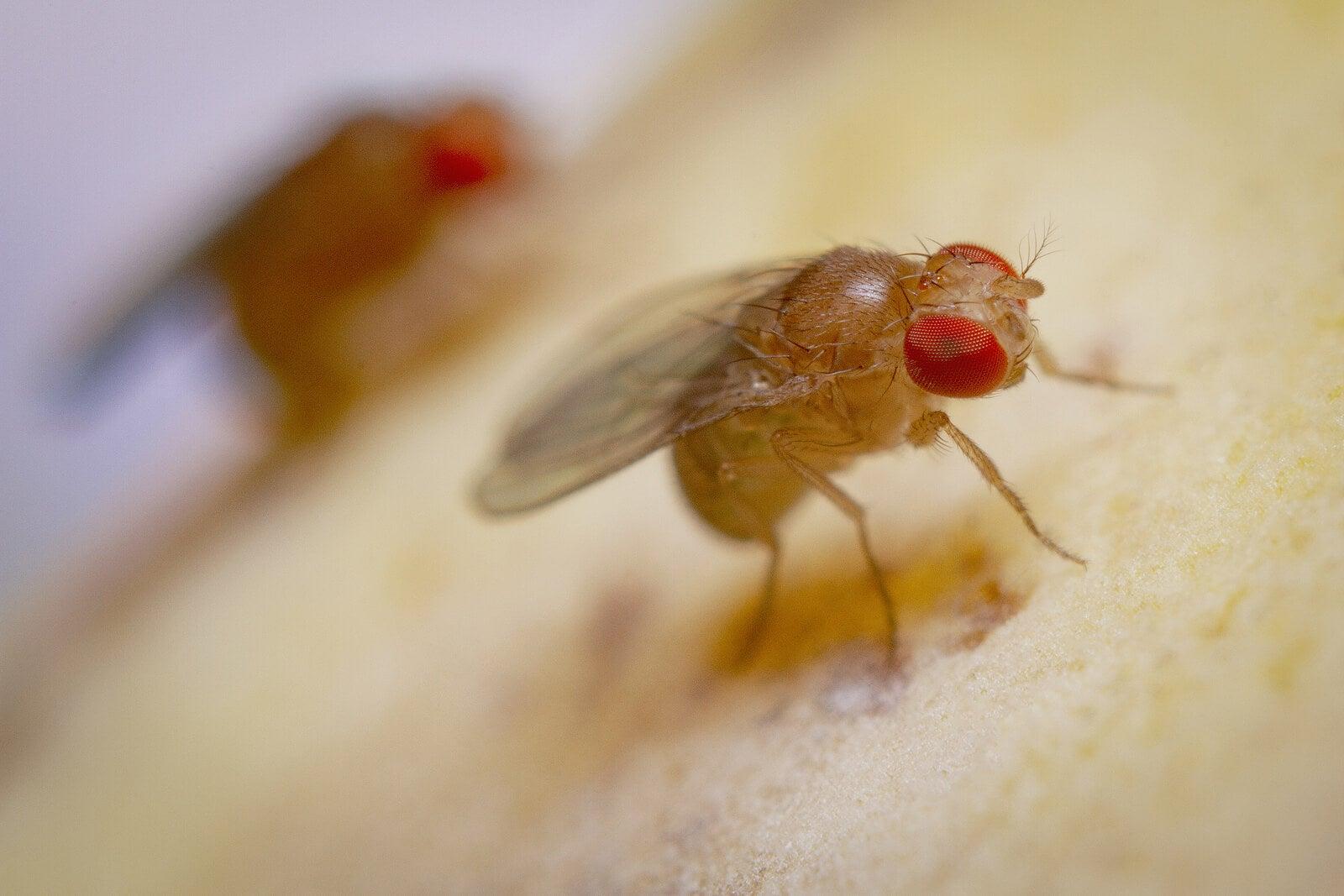 Los signos y síntomas de la miasis varían según la especie de mosca causante.