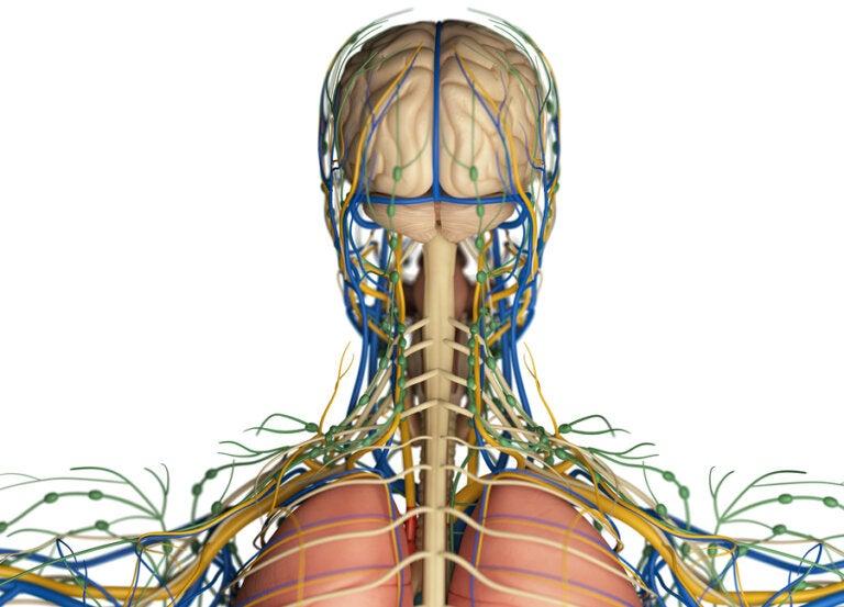 ¿Cuál es la función del sistema linfático en el organismo?
