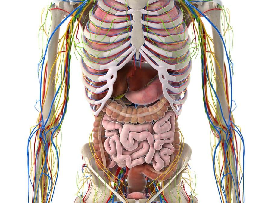 Cuáles son las partes del sistema linfático