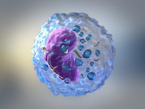 glóbulos blancos en la respuesta inmunitaria