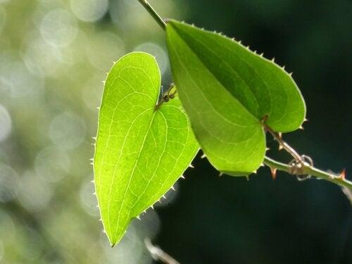 Zarzaparrilla: beneficios, riesgos y efectos secundarios