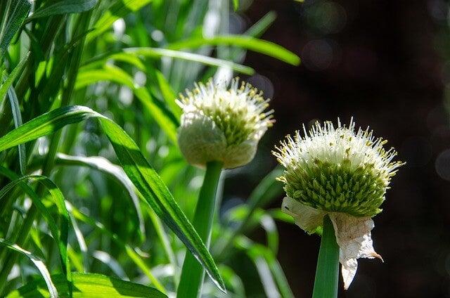 planta de estragón
