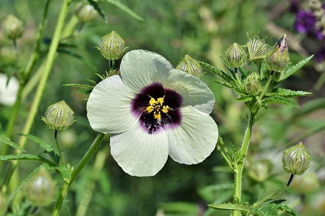 raíz de malvavisco y flor