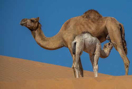 Leche de camella: propiedades y beneficios
