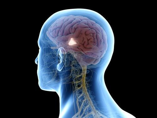 Hipotálamo: ¿qué es y cuáles son sus funciones?